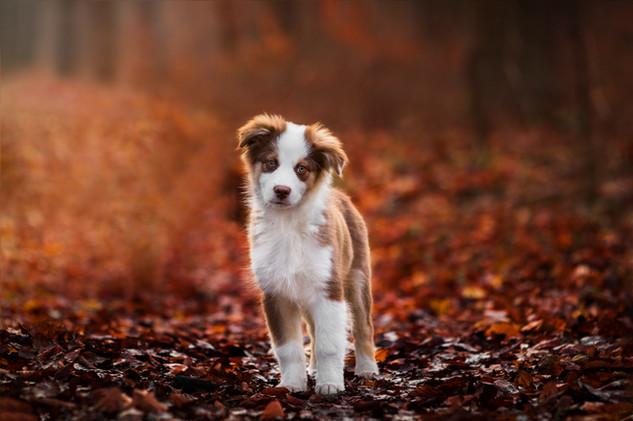 Monty - Australian Shepherd Welpe