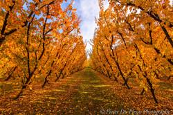 Cromwell Orchard, New Zealand