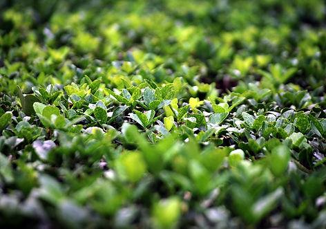 boxwood-shrub.jpg