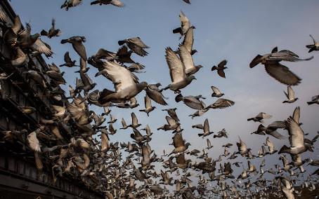 कबुतरांच्या धाबळी ( Pigeon Lofts)