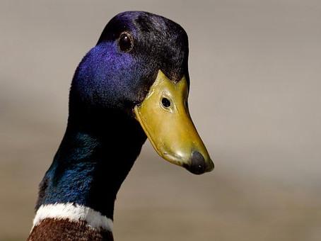 She's a Quack!