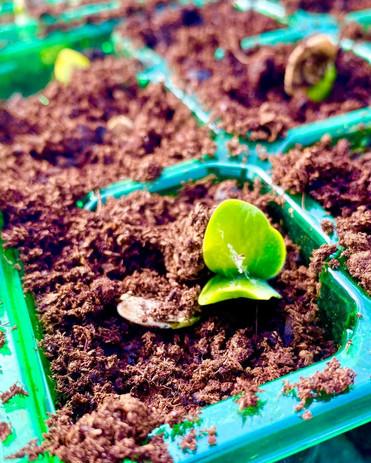 The first green shoots of recovery ! #pumpkinpatch2021 #dunhampumpkinpatch #altrincham #pyopumpkins