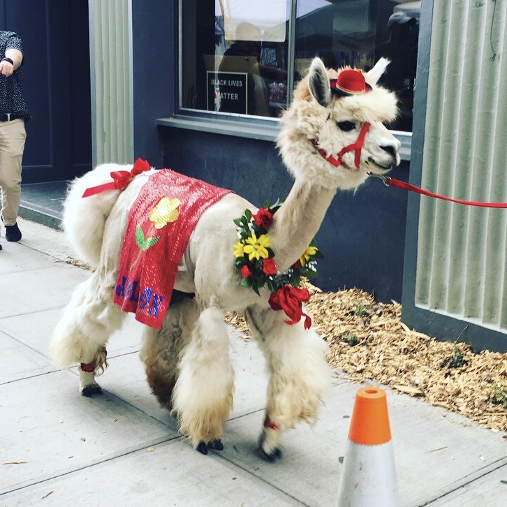 He was there with his best bud, Rojo the Llama!