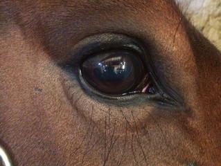 Смотри в глаза… Откуда взялось белое пятно в глазу у лошади и на сколько все серьезно?