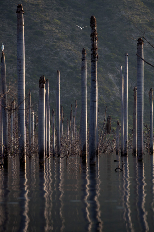 Palm trees are being encroached upon by the rising level of Lago Enriquillo
