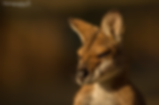 faunagraphicRedNeckedWallaby.png