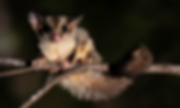 faunagraphicSugarGlider.png