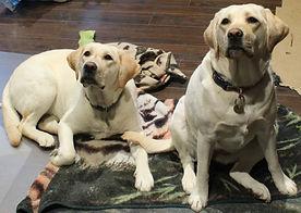 Cute Yellow Labradors