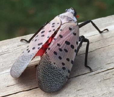 Invasive Species: Spotted Lanternfly