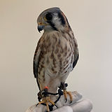 A. Kestrel 2.jpeg