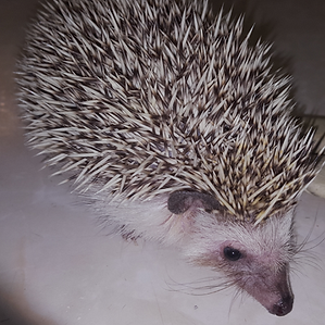 Hedgehog.png