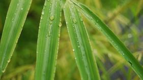 Dividir y remover bambúes