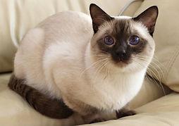 Charles thai cat
