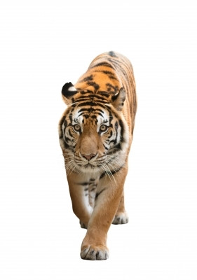 The Tigers Whisker: A story of pain, patience and love