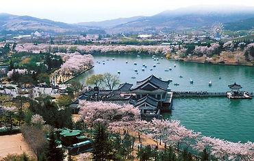 慶州普門湖は桜がきれい