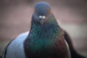Pigeon Control (2).jpg