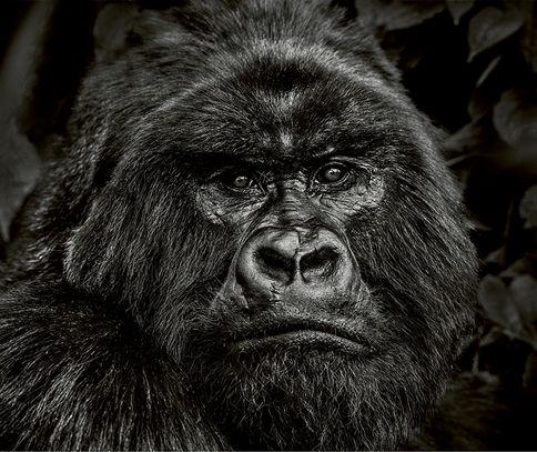 Kong – Volcanoes National Park, Rwanda