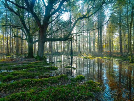 New Forest, Oaks (Quercus Robur)