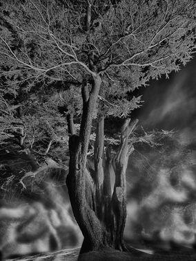 Fordell Castle, Cedar of Lebanon (Cedrus Libani)