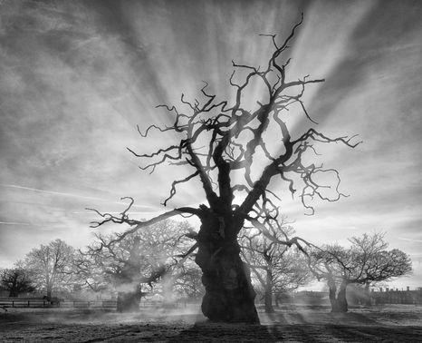 Helmingham Hall, Queen's Oak (Quercus Robur)
