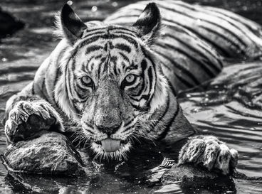 The Queen Of Ranthambore – India