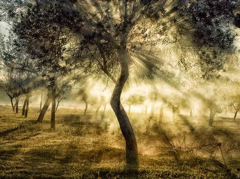 Almond San Juan Valley (Prunus Amygdalus)