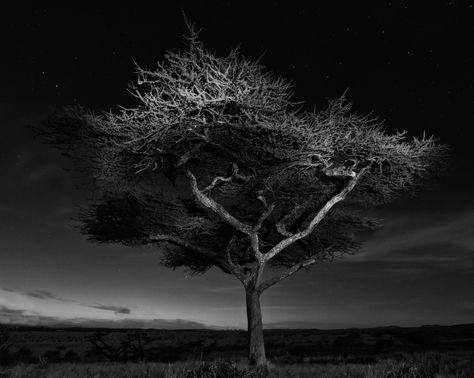 Borana Mount Kenya, Whistling Thorn (Acacia Drepanolobium)