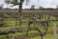Vineyard sheep 2