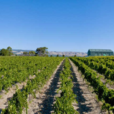 Omensetter Vineyard