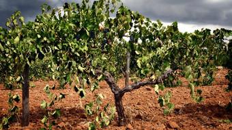 Greenock Vineyard