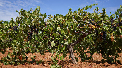 'Old Vine' Grenache