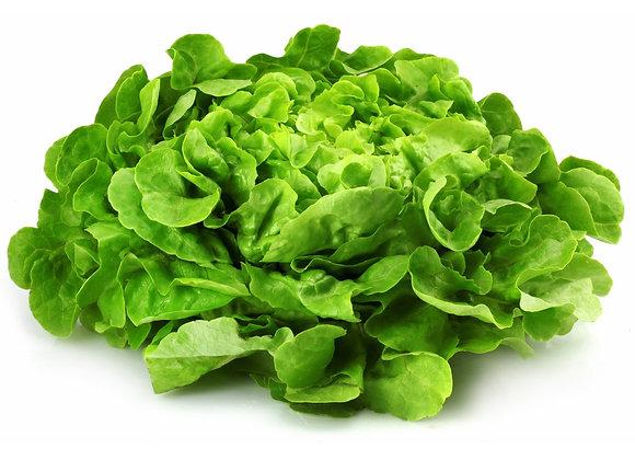 Plant de salade feuille de chêne