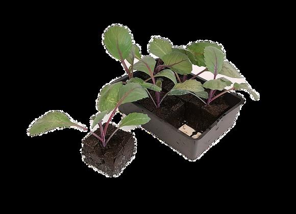 Plant de chou rave