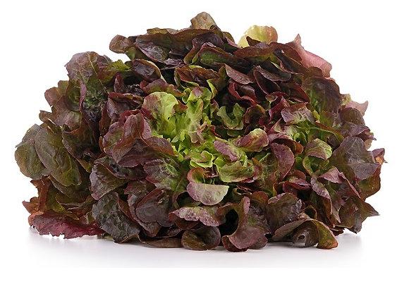 Plant de salade feuille de chêne rouge