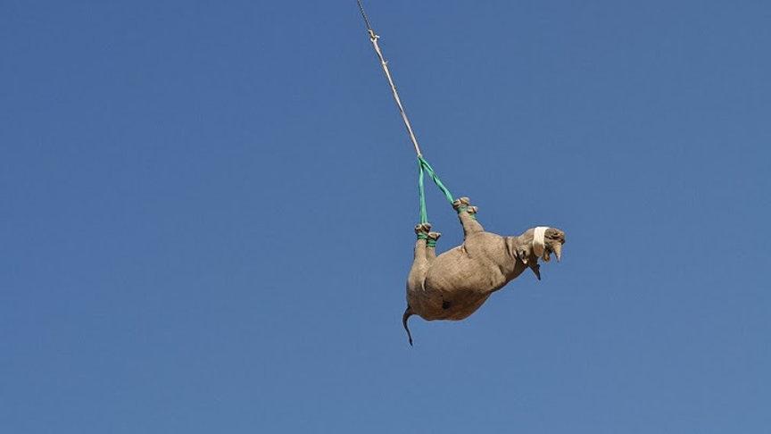 Rhino%20Hanging3_edited.jpg