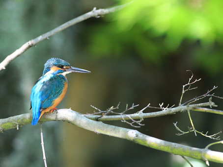 藤沢市の鳥「カワセミ」