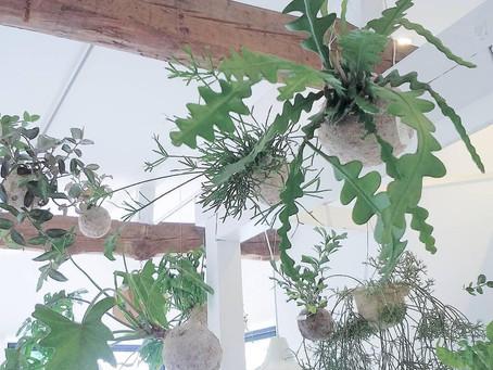 全方向から楽しめる観葉植物「ハングボール」