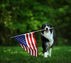 Happy border collie carrying USA flag.jp