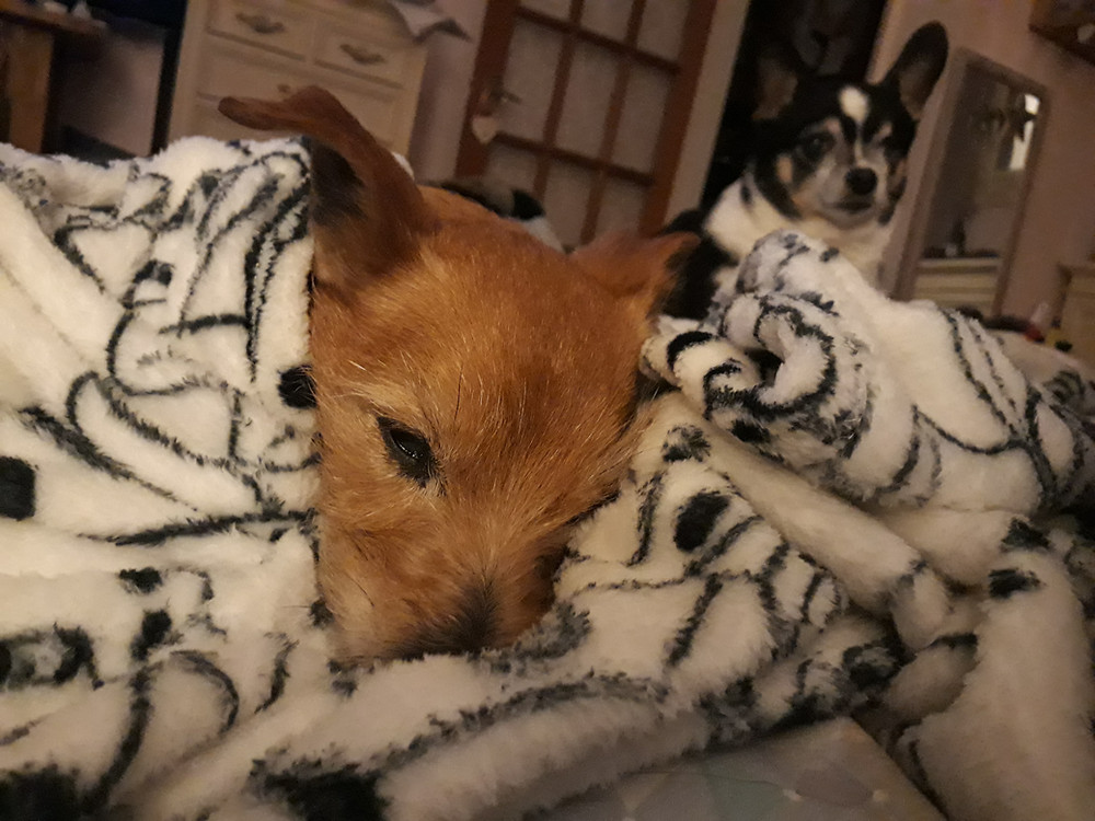 Dogs wrapped up in blankets