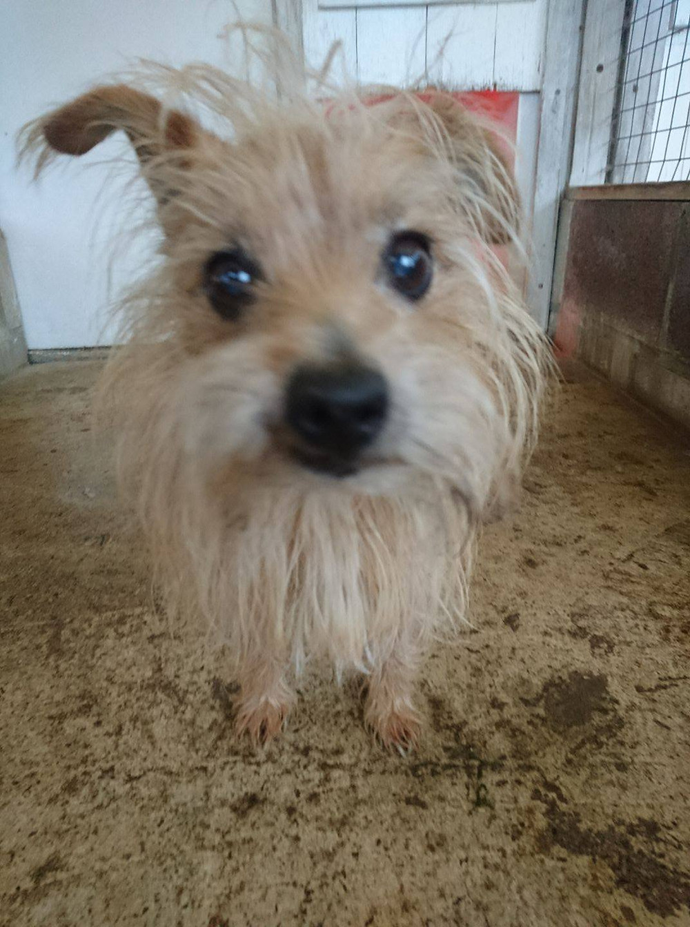 Terrier with overgrown hair.