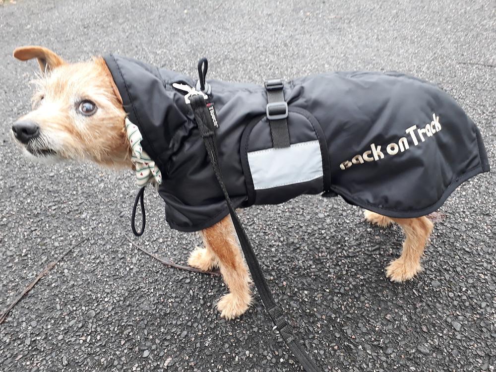 Terrier dog in winter coat.