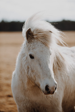 Skagen - hest