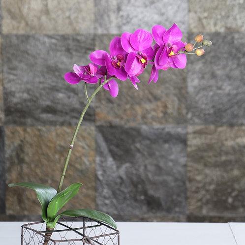Orquídea Phalaenopsis Mini