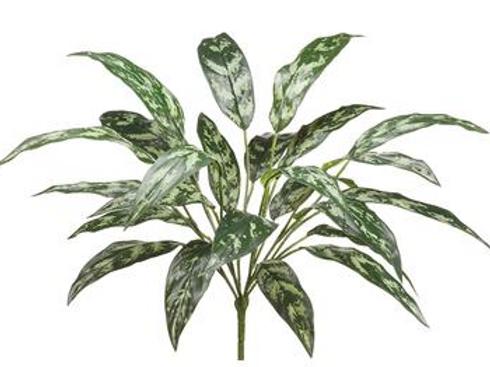 Silver Queen bush