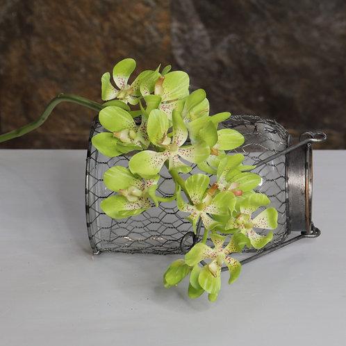 Orquídea Vanda Mini