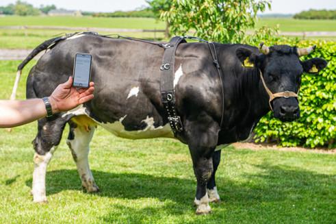 Geboortemelder koeien