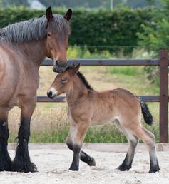 Geboortemelder paarden