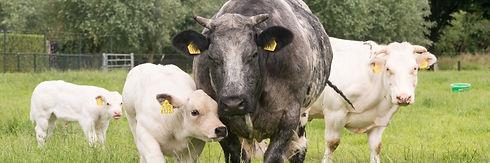Geboortemelder koei