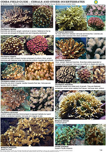 Coiba Field Guide - Corals & other Inver