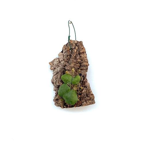 Urnenplant (Dischidia platyphylla)